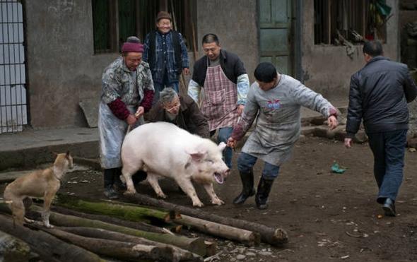 张家界杀年猪土家白话文记录全过程
