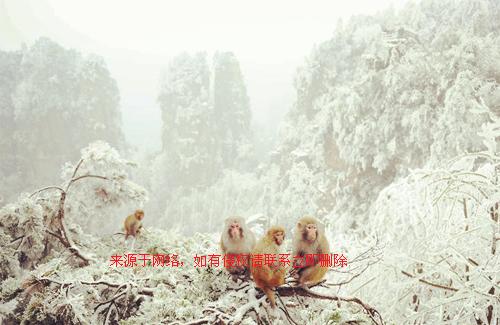 张家界猕猴雪中嬉戏