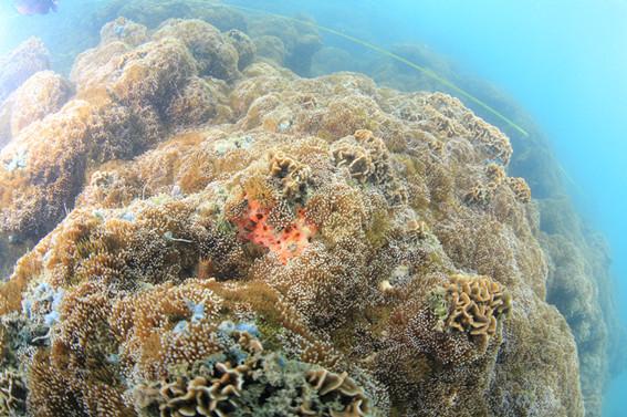 涠洲岛生长良好的珊瑚礁