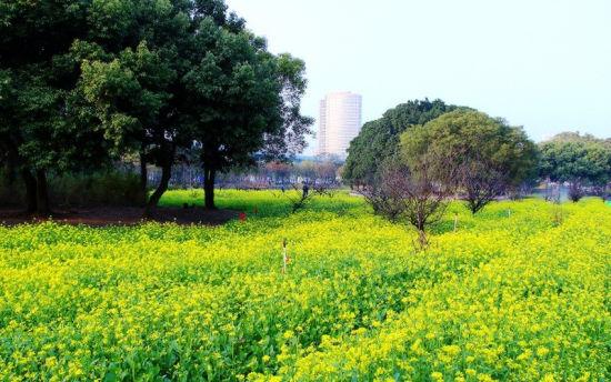 忠仑公园油菜花