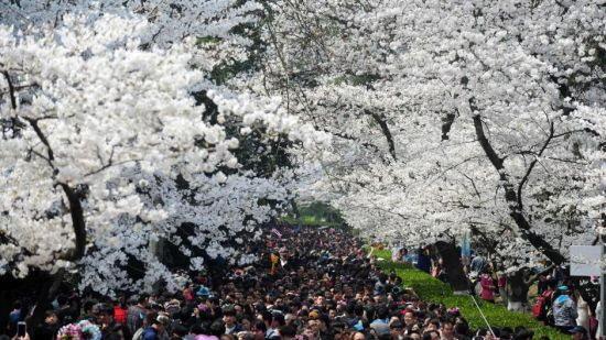 游客挤爆武大赏樱
