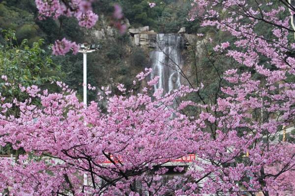 【行摄郴州·花田喜事】yabo亚博体育app下载到郴州王仙岭樱花、