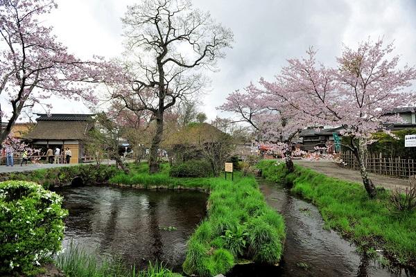 从湖南长沙到日本赏樱花直飞七日游自组旅游团