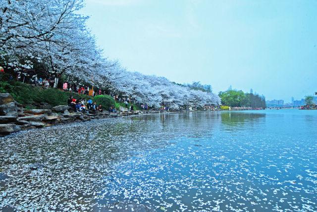 湖南省森林植物园樱花