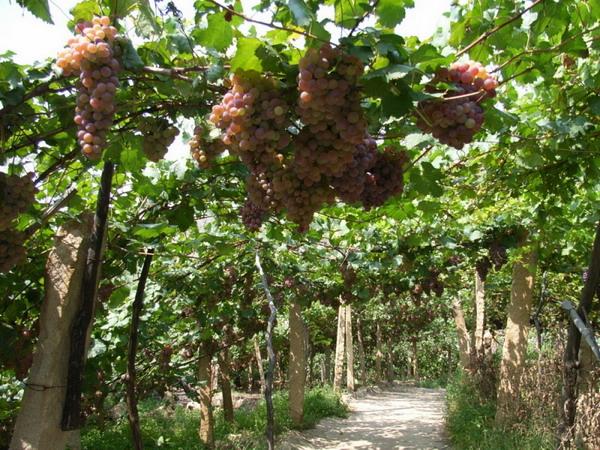 新疆葡萄沟图片